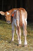picture of dairy barn  - Jersey dairy calf standing in a barn looking back - JPG