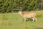 Male Mule deer (Odocoilus hemionus) in Yellowstone national park