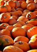 Pile of ripe orange pumpkins with stems