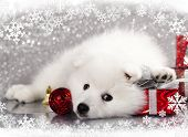 stock photo of westie  - Japanese white spitz and New Year gift - JPG