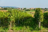 Vineyard near Montepulciano, Italy