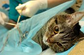 stock photo of castrated  - Surgical sterilization of cat in banian hospital - JPG