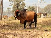 stock photo of brahma-bull  - Big entire red brown brahman bull with herd of cows steers bullocks and calfs on ranch farm - JPG