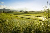 stock photo of luzon  - lush rice paddies growing under the glaring sun in northern luzon in the philippines