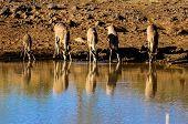 Thirsty Kudu