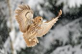 picture of snow owl  - Landing tawny owl tawny owl in winter time whne is snowing - JPG