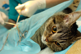 stock photo of castration  - Surgical sterilization of cat in banian hospital - JPG