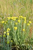 Immortelle, Yellow Medicinal Plant, Summer Environment