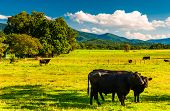 Cattle In A Pasture And View Of The Blue Ridge Mountains, In The Shenandoah Valley, Virginia.