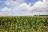Maize Landscape
