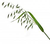 green panicles of oat close up isolated on white background