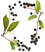 border frame of bird cherry branch with berries isolated on a white background