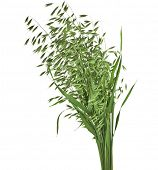 bouquet of fresh green oat seeds close up isolated on white background