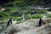 African penguin standing on a hill in the park Cape Town, South Africa