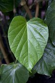 Kava leaf on a plant