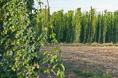 picture of bine  - detail of hop garden in the vegetation