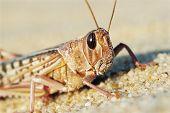picture of locusts  - Desert Locust - JPG