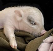 Peaceful Piggy