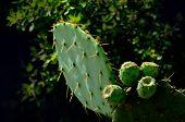 Pricky Pear Cactus