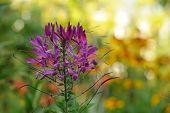 Cleome flor (planta de aranha)