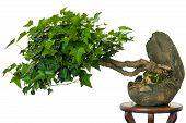 Ivy (hedera Helix) As Bonsai Tree