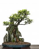 stock photo of elm  - Green leafed bonsai tree elm  - JPG