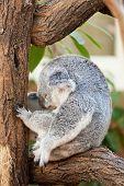 koala a bear sits on a branch of a tree and sleeps