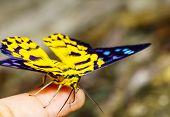 Close Up Of Dysphania Militaris Moths