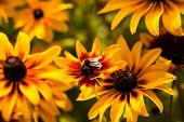 stock photo of black-eyed susans  - Bright yellow rudbeckia or Black Eyed Susan flowers in the garden
