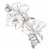 image of hibiscus  - Vector illustration of Hand drawing Hibiscus flower  - JPG