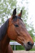 picture of black horse  - A portrait of a bay horse in the paddock - JPG