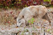 Blonde Wolf (Canis lupus) Prowling