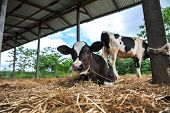 foto of calf  - Farm animal - JPG