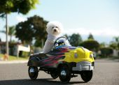 stock photo of blood drive  - Fifi the World Famous Bichon Frise Dog enjoys a day out riding around in her Pedal Car - JPG