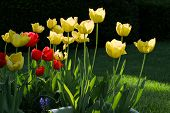 Tulips - Yellow And Red