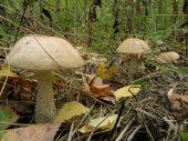 Birch mushroom