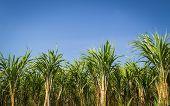 Sugar Cane Garden