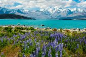 stock photo of southern  - Beautiful incredibly blue lake Tekapo with blooming lupins on the shore and mountains - JPG