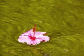 Hibiscus Flower Floating On Algae Infested Water Background
