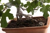 stock photo of bonsai  - Roots of bonsai fig tree photographed in the studio on white background - JPG