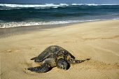 Green sea turtle on beach, North Shore of O'ahu, Hawaii