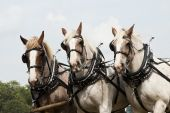 picture of horse plowing  - horse - JPG