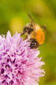 Honey Bee On Flowering Chive