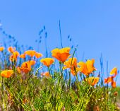 Poppies poppy flowers in orange at California spring fields USA