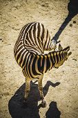 zebra in a zoo park, skin patterned stripes