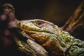 Постер, плакат: reptile scaly lizard skin resting in the sun