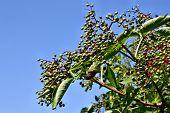 Unripe Fruits Of Elderberry