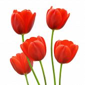 Red tulip flowers in spring
