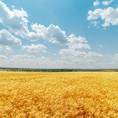 field with golden harvest and clouds in sky