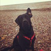 Labrador on the Beach